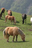 HORSES IN THE MEADOW. A pack of horses in the meadow Royalty Free Stock Photos