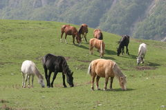 HORSES IN THE MEADOW. A pack of horses in the meadow Stock Images