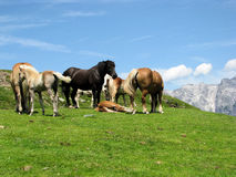 Horses in the meadow in Alps Royalty Free Stock Images