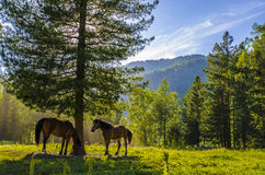 Horses in the meadow of Altai Stock Images