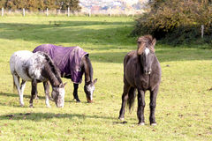 Horses on meadow in autumn Royalty Free Stock Photography