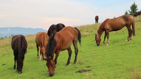 Horses on the meadow stock footage