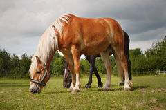 Grazing Horses Meadow. Beautiful Haflinger horse grazing on a meadow, closeup Stock Image
