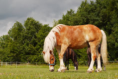 Grazing Horses Meadow. Beautiful Haflinger horse grazing on a meadow, closeup Royalty Free Stock Image