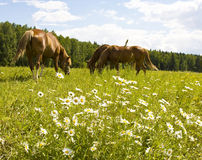 Horses on meadow with camomiles Stock Photography