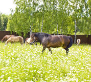 Horses on meadow with camomiles Royalty Free Stock Images