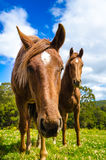 Horses in the meadow. Close up royalty free stock photo