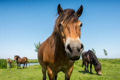Horses in a meadow close up. A horse in a meadow close up with two other horses and a foal in the background Stock Photo