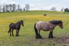 Horses in meadow covered with yellow dandelions Stock Image