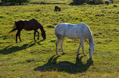 Horses in the meadow in Drawskie Lakeland (Poland) Royalty Free Stock Photography