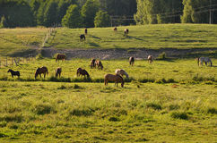 Horses in the meadow in Drawskie Lakeland (Poland) Royalty Free Stock Photos