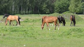 Horses in meadow stock video