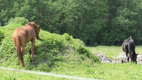 Horses. In meadow grazing eat stock footage