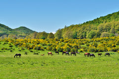 Horses on meadow Royalty Free Stock Photo