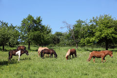 Horses on a meadow Stock Image