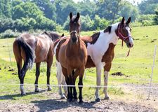 Horses in a meadow Stock Images