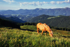 Horses on the meadow in the mountains. Carpathian, Ukraine, Europe Stock Images