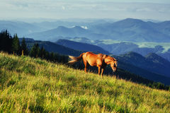 Horses on the meadow in the mountains. Carpathian, Ukraine, Europe. Royalty Free Stock Photography