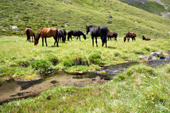 Horses at the meadow near stream,Caucasus mountain Stock Image