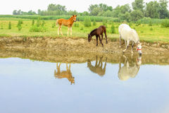 Horses on a meadow near water Stock Photography