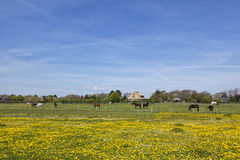 Horses on meadow outside the village of Keitum, Sylt Stock Images