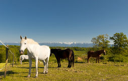Horses in the meadow,  Pyrenees mountains in background Stock Photos