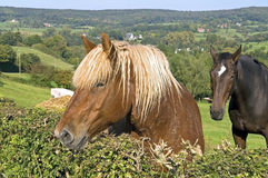 Horses in a meadow in rural landscape Stock Photo