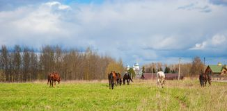 Horses in the meadow Royalty Free Stock Photo