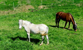 Horses in a meadow Stock Photography