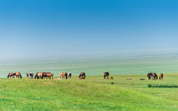 Horses in the Meadow Stock Image