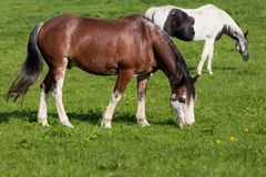2 horses in a meadow royalty free stock images