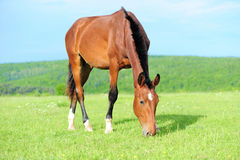 Horses in meadow stock images