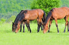 Horses in meadow stock image