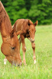 Horses in meadow royalty free stock photography