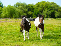 Horses in meadow. Summer day. Holsteiner horse, bay gelding, run away from the rider Royalty Free Stock Photos