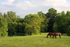 Horses in a Meadow royalty free stock images