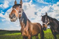 Horses in the meadow. Two horses in the meadow looking at me Stock Photos