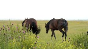 Horses on the meadow stock video