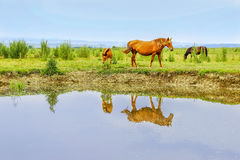 Horses on a meadow in water Royalty Free Stock Photography