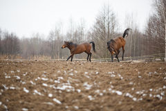 Horses on the meadow Stock Photography