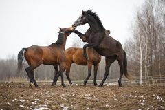 Horses on the meadow Royalty Free Stock Images
