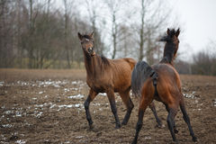 Horses on the meadow Royalty Free Stock Photography