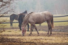 Horses on the meadow.. Royalty Free Stock Photo