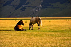 Horses on the meadows of  Apennines Stock Images
