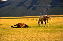 Horses on the meadows of  Apennines Stock Photo