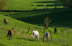 Horses on Meadows Royalty Free Stock Image