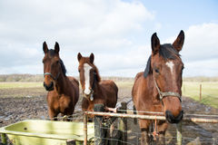 Horses in meadows Royalty Free Stock Photography