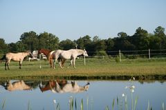 Horses meeting by a pond Stock Image