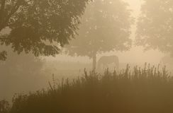 Horses in the mist. Y fore-lands near the river the IJssel in the Netherlands. The sun is rising stock photos
