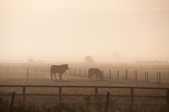 Horses in the mist. A group of horses seen on a misty, frosty morning in Downham, Norfolk, UK Stock Photography